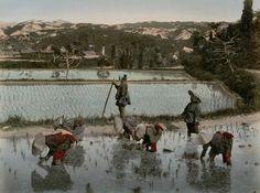 "Planting Rice Sprouts"" Studio Shin-e-Do (Kobe, Japan) Photography. 19th century.BODOYLECi5 . AuGréDeMonHumeur..."