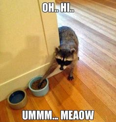 Ummm...i may look like a raccoon, but i am really your cat....getting some food...i promise....