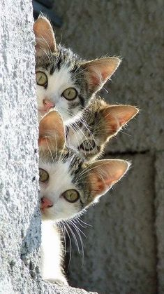 The three little kittens, they thought that they were hidden…… - Hunde und Katzen Cute Cats And Kittens, I Love Cats, Crazy Cats, Cool Cats, Kittens Cutest, Ragdoll Kittens, Bengal Cats, Siamese Cats, Animals And Pets