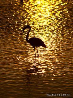 F.B.Flamingo en oro.Boca de Río, Venezuela