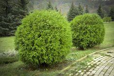 round arborvitae Every single garden needs these evergreen bushes. Evergreen Flowering Shrubs, Evergreen Bush, Arborvitae Landscaping, Front Yard Landscaping, Landscaping Ideas, Country Landscaping, Garden Shrubs, Garden Beds, Garden Plants
