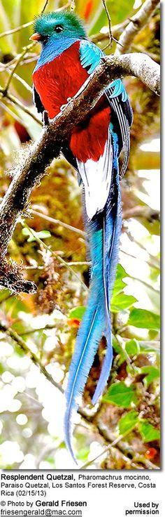 Resplendent Quetzal, Pharomachrus mocinno, Paraiso Quetzal, Los Santos Forest Reserve, Costa Rica (02/15/13)