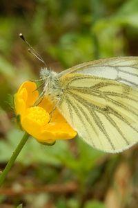 In het voorjaar werd het klein geaderd witje het meest geteld (foto: Kars Veling)