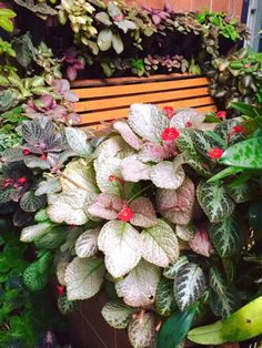 YingRus Ka KhunMessi Begonia, Camelia Rosa, Garden Plants, Indoor Plants, Nerve Plant, Star Of Bethlehem, Backyard Landscaping, Houseplants, Color Inspiration