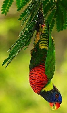 Rainbow lorikeet image via Selene on www.Facebook.com