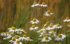 Χαμομηλέλαιο - Πως κάνουμε ένα από τα πιο αγαπημένα λάδια βοτάνων Plants, Plant, Planets