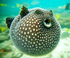 Puffer fish-- makes me smile !
