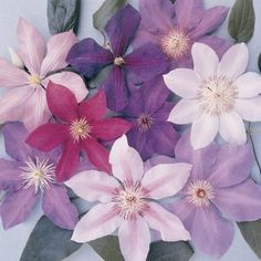propagate Clematis Vine cuttings in water.How to propagate Clematis Vine cuttings in water. Clematis Varieties, Clematis Plants, Clematis Flower, Clematis Vine, Garden Plants, Outdoor Plants, Shade Garden, Indoor Outdoor, White Flowers