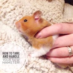 How to tame your hamster! 5 easy steps to gain trust and a bond between you both!