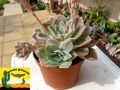 Graptoveria Fantome (Graptopetalum paraguayense x Echeveria elegans) Cactus, Echeveria, Succulents, Garden, Google, Nature, Growing Up, Leaves, Gardens