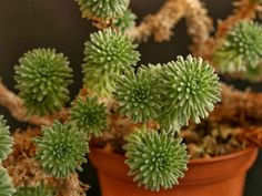 Sedum multiceps - Miniature Joshua Tree forms a miniature, much-branched sub-shrub, up to 6 inches (15 cm) tall. Most of the tiny glaucous grayish-green...