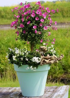 Check out 44 Best Shrubs for Containers. You& like to have some of these shrubs right away in your container garden. Garden Shrubs, Patio Plants, Outdoor Plants, Shade Garden, Garden Pots, Garden Ideas, Garden Web, Balcony Garden, Container Flowers