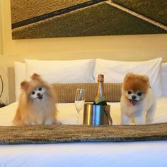 When they visited wine country. When they visited wine country . Boo The Cutest Dog, World Cutest Dog, Cutest Dogs, Boo And Buddy, Cute Dogs And Puppies, Funny Puppies, Wine Country, Dog Friends, Fur Babies