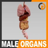 Human Male Body Internal Organs - Anatomy Model available on Turbo Squid, the world's leading provider of digital models for visualization, films, television, and games. Human Anatomy Model, Anatomy Models, Anatomy Drawing, Anatomy And Physiology, Total Body, Body Parts, Brochure Design, Card Templates, Human Body
