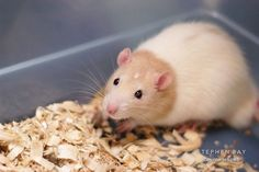 hooded rat | hooded male rat available for adoption. The Wonderful World of Rats ...