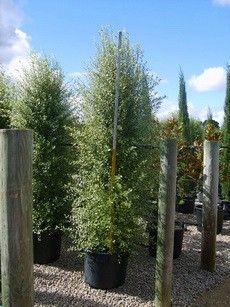 Pittosporum Silver Sheen Standard Google Search Garden