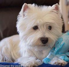 West Highland white terrier ♡