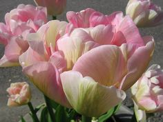 pictures of rare tulips - Google Search
