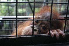 Statement by JAAN - Orangutan Outreach Orangutan Monkey, Ape Monkey, Primates, Monkeys, Make Me Smile, Animal Pictures, Arrow, Blessed, Friends