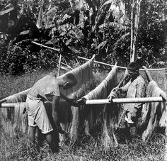 Hanging Manila hemp to dry, Philippines, early 20th Century