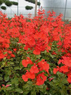 Salvia Suncrest 'Fire Dancer'