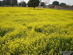 Mustard fields of #Punjab #Pakistan  Near Multan  Picture : Nasir Ashraf