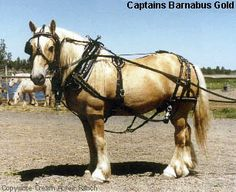 The American Cream Draft Horse is the ONLY native breed of Draft to originate right here in the United States. All other breeds of heavy horse have come from Europe. This native breed sprung up from the rich fertile Midwest farm belt in the early 1900's. The originating horse was a mare purchased at auction by an Iowa farmer. (Another American breed established in my home state!)