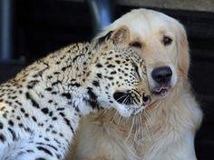 O leopardo chamado 'Salati' e o cachorro da raça golden retriever 'Tommy' mantêm uma amizade inusitada em uma propriedade em Pretória, na África do Sul. Segundo o proprietário Richard Brooker, os dois animais estão sempre juntos. (Foto: Barcroft Media/Getty Images)