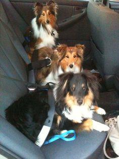 Sheltie Nation - Backseat Barkers  Notice the seat belts. Keep your Shelties safe!