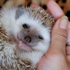 That lil nose! Cute Funny Animals, Cute Baby Animals, Funny Cute, Animals And Pets, Nature Animals, Hedgehog Pet, Cute Hedgehog, Cute Animal Videos, Animal Fun