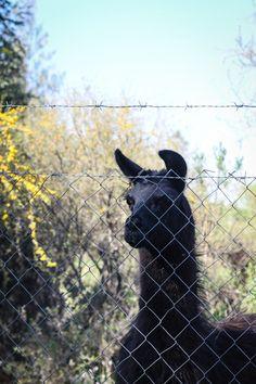 Llama Alpaca Vs Llama, Giraffe, Goats, Animals, Felt Giraffe, Animales, Animaux, Giraffes, Animal