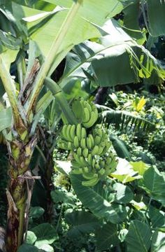 How to Take Care of a Banana Tree in a Pot