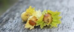 The Amazing Hazel – The Essential Guide to Everything you need to know about Hazels