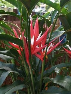 "Featured Plant: Heliconia Angusta ""Red Christmas"" 