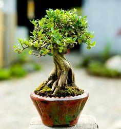Bonsai Progression: Lonicera nitida