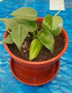 《 Potos, Poto, Ecindapso -- Epipremnum aureum = Scindapsus aureus 》 •Luz : Los Potos necesitan un lugar luminoso pero sin sol directo (palidecería). Con poca luz pierden el color amarillo del variegado de las hojas. •Temperatura : Estas plantas temen mucho el frío; la temperatura nunca ha de bajar de 10ºC. •Humedad : El Poto puede tolerar bien el ambiente seco de un interior, aunque le beneficia las pulverizaciones de vez en cuando del follaje.  •Riego : Riego abundante en los meses de…