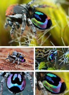 Amazing Technicolor jumping spider.