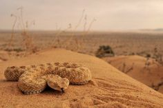 Dwarf Sahara Sand Viper (Cerastes Vipera)