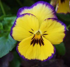 Viola | Autumn Beauties