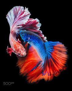 Battle Betta fish - Betta fish, siamese fighting fish, betta splendens  isolated…