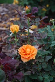 Rosa 'About Face' a very special Grandiflora.