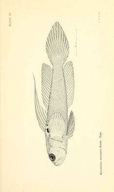... The fishes of the Stanford expedition to Brazil, - Biodiversity Heritage Library