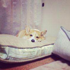 He has 4 beds. #dog #corgi