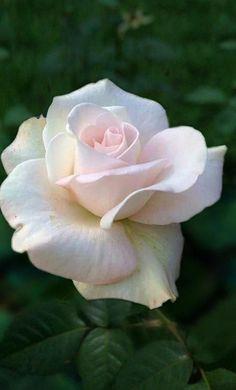 Beautiful Rose Flowers, Love Rose, Amazing Flowers, Beautiful Flowers, Flower Phone Wallpaper, Rose Wallpaper, Rose Pictures, Flower Photos, White Roses