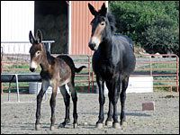 Mules — the offspring of female horses and male donkeys — are generally sterile and can't reproduce.  But a female mule in Colbran, Colo., has recently become a mother, and her owners are trying to figure out how it happened.