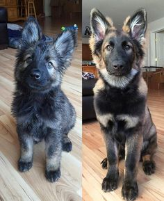 Wicked Training Your German Shepherd Dog Ideas. Mind Blowing Training Your German Shepherd Dog Ideas. Cute Funny Animals, Cute Baby Animals, Animals And Pets, Cute Dogs And Puppies, I Love Dogs, Doggies, Puppies Puppies, Beautiful Dogs, Animals Beautiful