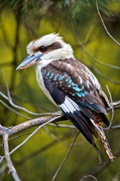Laughing Kookaburra (Dacelo novaeguineae) this time displaying the blue wing colouring and the unusual red and black bars on the tail. They are members of the kingfisher family and therefore voracious feeders. They tend to eat insects, worms and crustaceans, but will also eat small snakes, mammals, frogs and bird hatchlings.