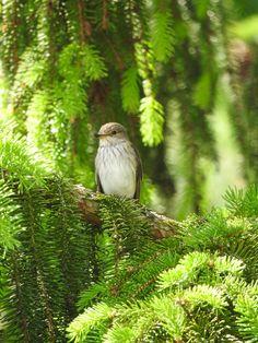 Muchołówka szara (Muscicapa striata) Spotted flycatcher Wordpress, Bird, Animals, Fotografia, Animales, Animaux, Birds, Animal, Animais