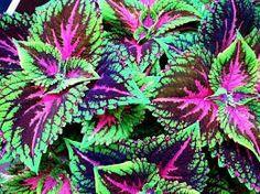 Coleus 'Violet Tricolor' | Coleus from Athena Brazil | Pinterest
