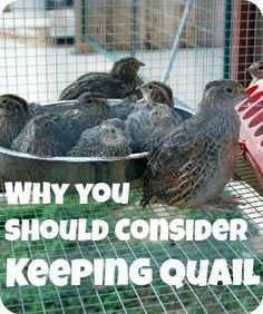 Find out reasons why you should consider keeping quail. They are a great multi-purpose bird and often you can keep them in areas that arent zoned for chickens and ducks. Find out reasons why you sh… Raising Quail, Raising Chickens, Pet Chickens, Backyard Farming, Chickens Backyard, Backyard Ducks, Backyard Coop, Backyard Poultry, Keeping Chickens